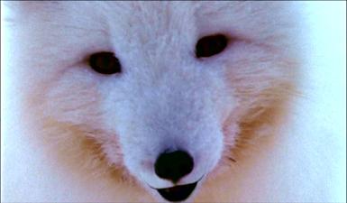 polarbear4
