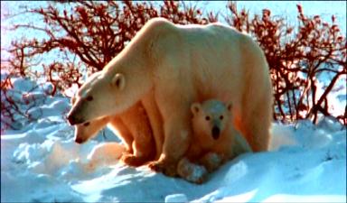 polarbear6